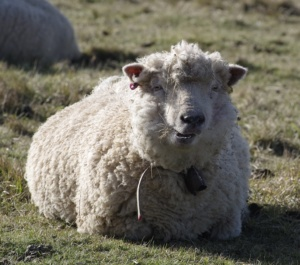 Lana merinos - la pecora