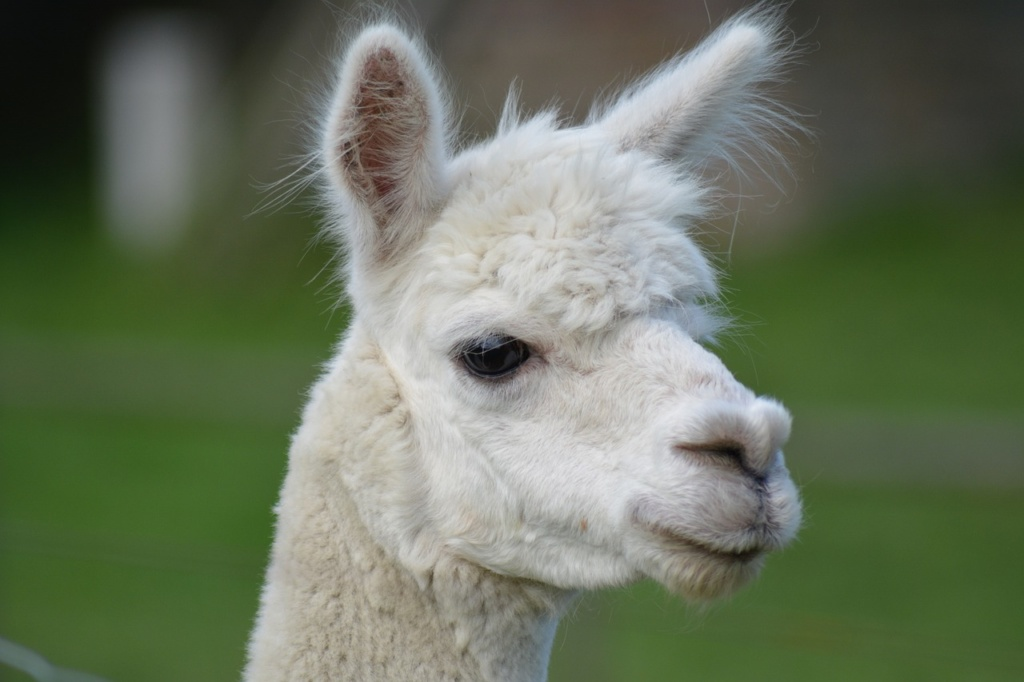 Lana d'alpaca - MaMaglia Creazioni artigianali